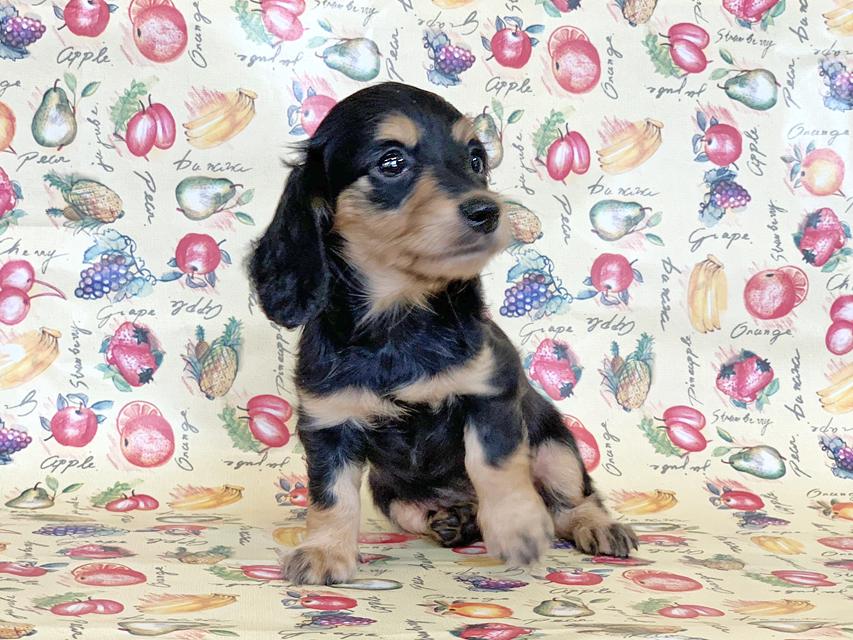 カニンヘンダックスフンド ビーmt & ボンmtの子犬 ブラックイエロー(ブラッククリーム) 女の子 お写真初登場