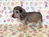 ビーmt & ボンmtの子犬 シェーデットイエロー(シェーデットクリーム) 女の子 お写真初登場