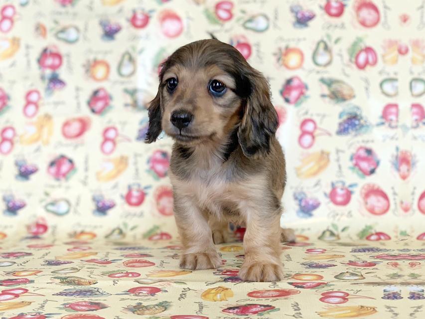 カニンヘンダックスフンド ビーmt & ボンmtの子犬 シェーデットイエロー(シェーデットクリーム) 女の子 お写真初登場