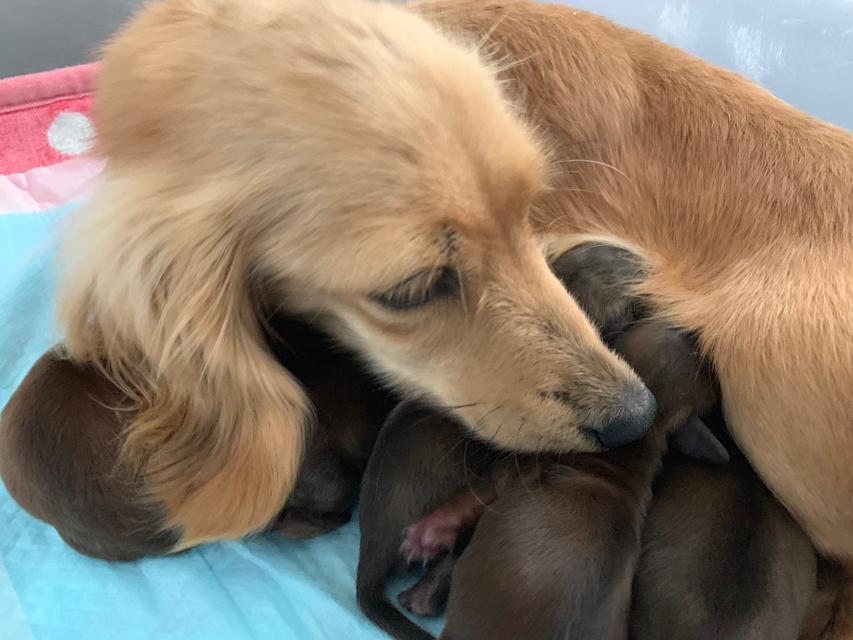カニンヘン ダックスフンド アンナ 5月10日 子犬の出産