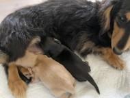 コリン 5月7日 子犬の出産