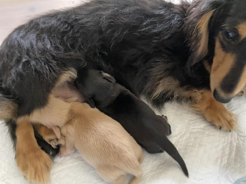 カニンヘン ダックスフンド コリン 5月7日 子犬の出産