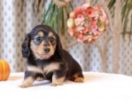 ジル & ナイトの子犬 ブラックイエロー(ブラッククリーム) 女の子
