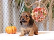 ローリー & ジェットの子犬 レッド 女の子