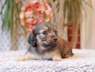 クラン & ロックスの子犬 シェーデットイエロー(シェーデットクリーム) 女の子(1)