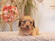 クラン & ロックスの子犬 シェーデットイエロー(シェーデットクリーム) 女の子(2)