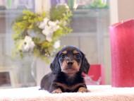 トマト & ボノの子犬 ブラタン 男の子