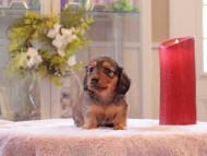 トマト & ボノの子犬 レッド 男の子