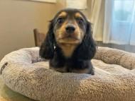 ソフィア & ジムダンディの子犬 ブラックイエロー(ブラッククリーム) 男の子