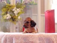リン & ピーターの子犬 レッド 男の子(1)