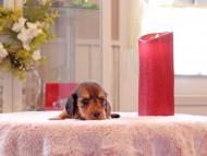 リン & ピーターの子犬 レッド 男の子(2)