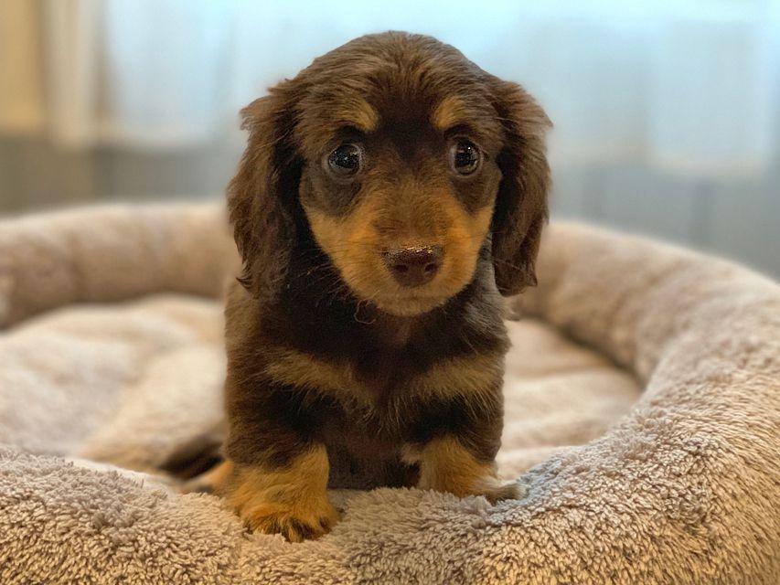 カニンヘン ダックスフンド 小町hp & ブルースの子犬 チョコイエロー(チョコクリーム) 女の子