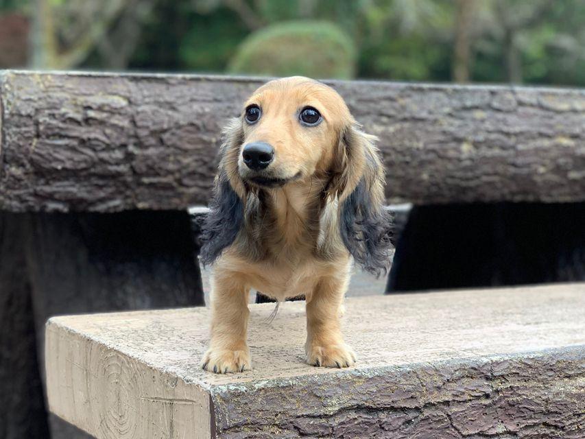 カニンヘンダックスフンド ニコmt & ビルズmtの子犬 シェーデットイエロー(シェーデットクリーム) 男の子