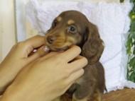 ジル & ナイトの子犬 チョコタン 男の子 ハイクラス