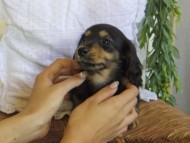 ジル & ナイトの子犬 ブラックタン 女の子