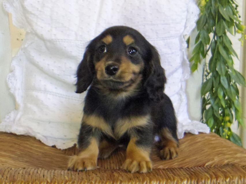 カニンヘン ダックスフンド ジル & ナイトの子犬 ブラックタン 女の子