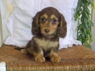 ジル & ナイトの子犬 チョコタン 女の子(2) ハイクラス