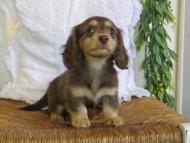 ジル & ナイトの子犬 チョコイエロー(チョコクリーム) 女の子 ハイクラス