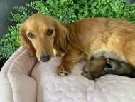シオン 6月3日 子犬の出産