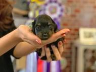 ピノ & ブルースの子犬 ブラックイエロー(ブラッククリーム) 女の子