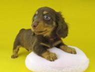 プラム & ナイトの子犬 チョコタン 女の子(1)