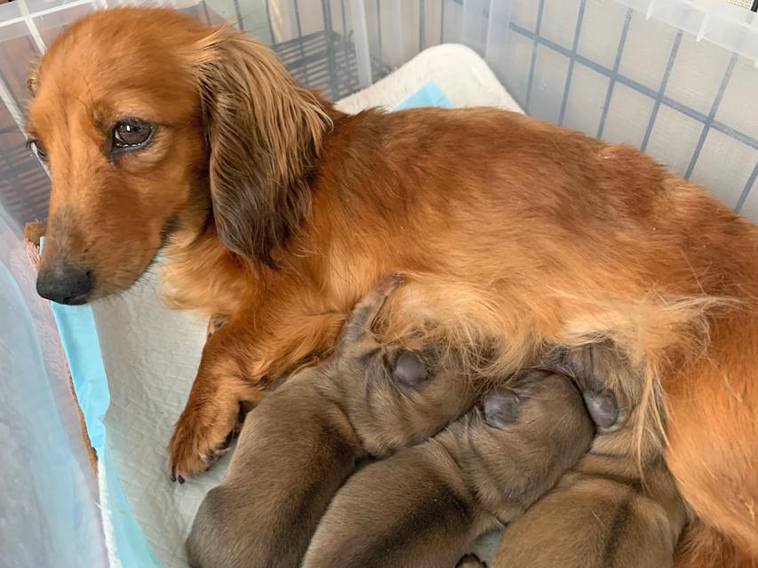 カニンヘン ダックスフンド オーロラ 4月15日 子犬の出産