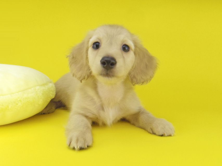 カニンヘン ダックスフンド キュア & スカッシュの子犬 イエロー(クリーム) 男の子