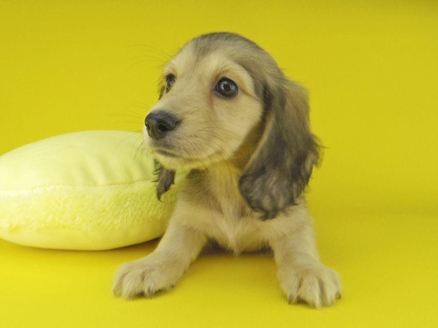 カニンヘン ダックスフンド キュア & スカッシュの子犬 イエロー(クリーム) 女の子