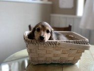 リン & スカッシュの子犬 シェーデットイエロー(シェーデットクリーム) 男の子(1)