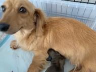 コメロ 6月5日 子犬の出産
