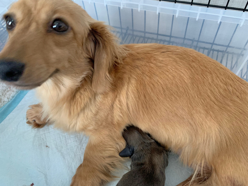 カニンヘン ダックスフンド コメロ 6月5日 子犬の出産