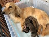 こなゆき 6月14日 子犬の出産
