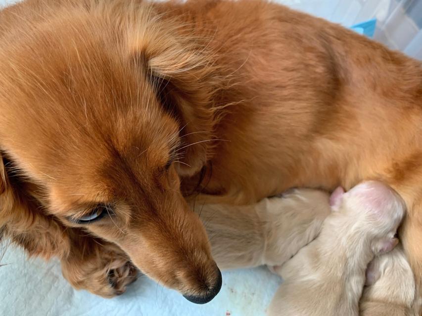 カニンヘン ダックスフンド キュア 6月25日 子犬の出産
