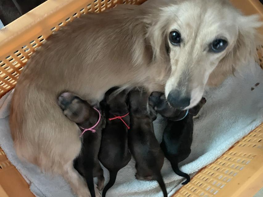 カニンヘンダックス ほたる 7月8日 ミニチュアダックス子犬の出産