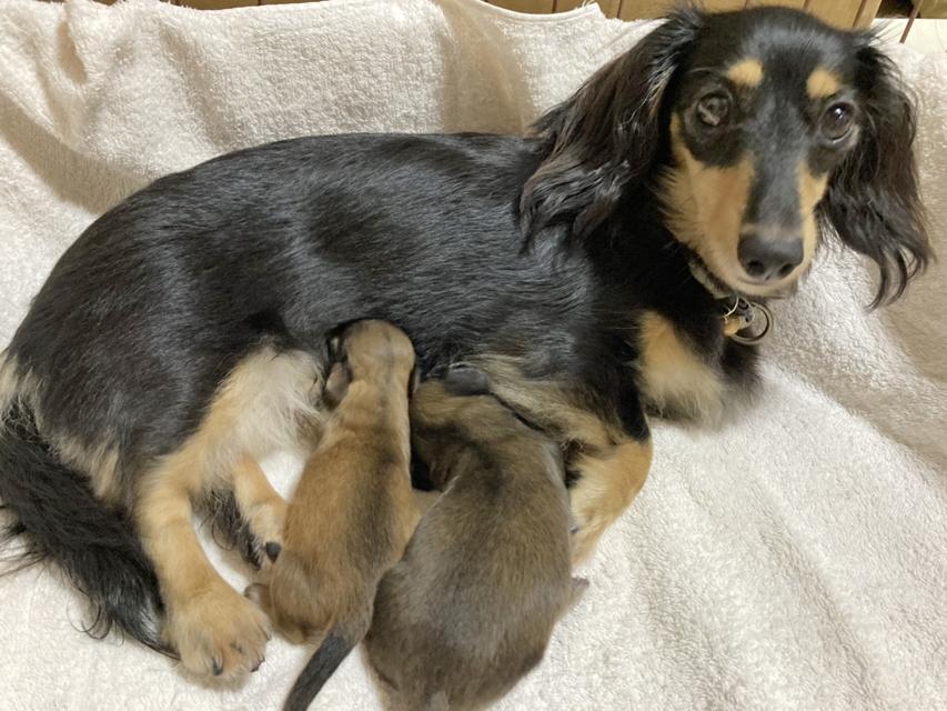 カニンヘンダックスフンド まめms 8月14日 子犬の出産