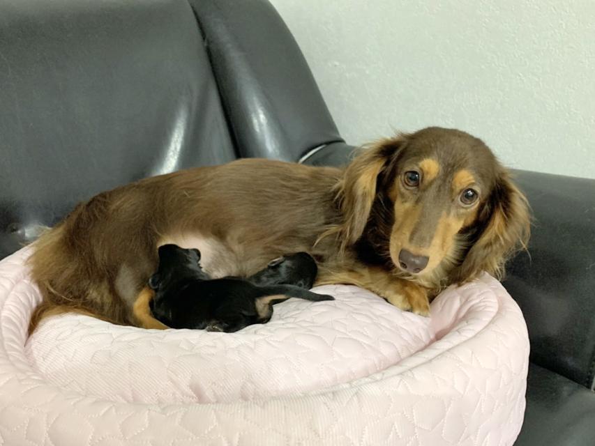 カニンヘン ダックスフンド ジル 9月7日 子犬の出産