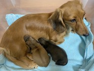 クラン 9月21日 子犬の出産