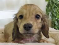 コットン & スカッシュの子犬 イエロー(クリーム) 男の子(2)