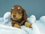ジャム & スルガの子犬 チョコイエロー(チョコクリーム) 男の子