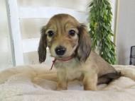 コットン & スカッシュの子犬 イエロー(クリーム) 男の子(3)