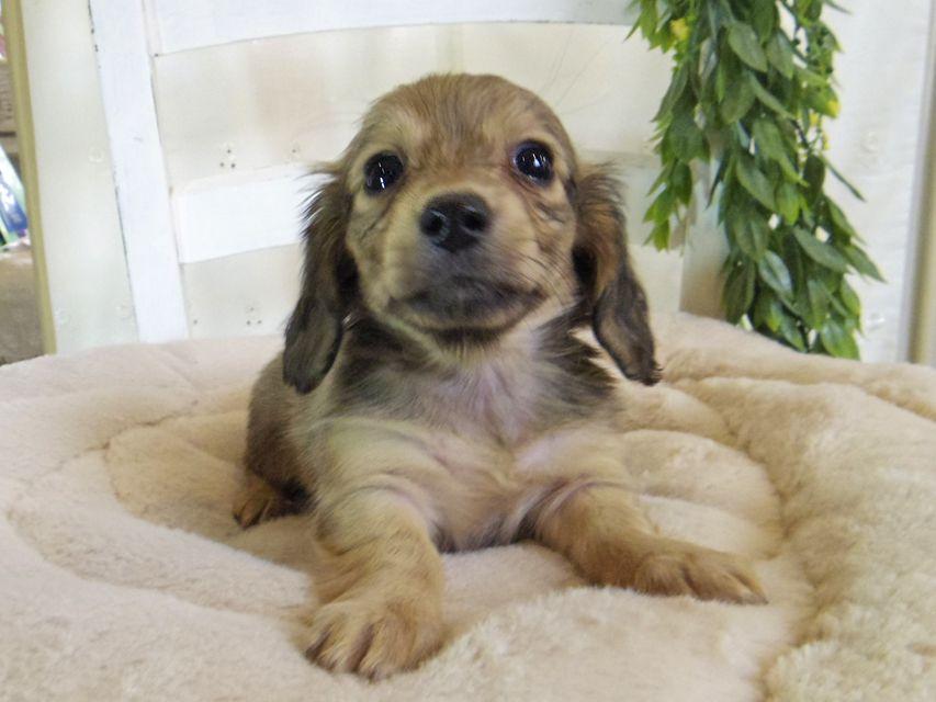 カニンヘン ダックスフンド コットン & スカッシュの子犬 イエロー(クリーム) 女の子