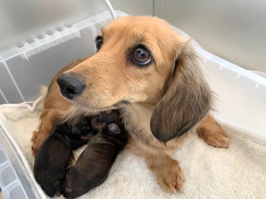カニンヘン ダックスフンド KT 1月14日 子犬の出産