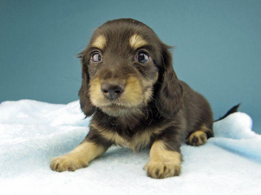 カニンヘン ダックスフンド ジャム & スルガの子犬 ブラックイエロー(ブラッククリーム) 女の子(2)