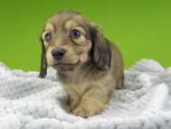 レイcs & スカッシュの子犬 シェーデットイエロー(シェーデットクリーム) 女の子
