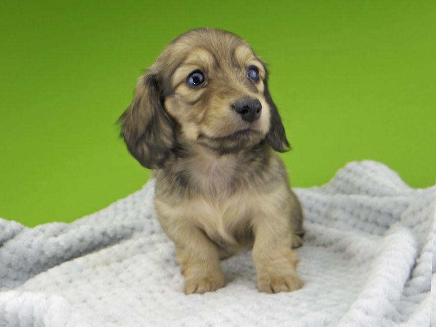 カニンヘン ダックスフンド レイcs & スカッシュの子犬 シェーデットイエロー(シェーデットクリーム) 女の子