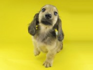 ローリー & タケルの子犬 イエロー(クリーム) 男の子