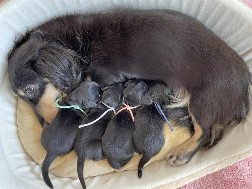 カニンヘン ダックスフンド  カイラ 8月25日 子犬の出産