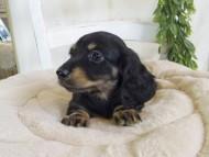 クム & エレンの子犬 ブラックイエロー(ブラッククリーム) 男の子