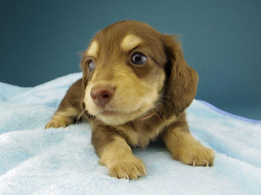 カニンヘン ダックスフンド ジャム & スルガの子犬 チョコイエロー(チョコクリーム) 女の子(1)