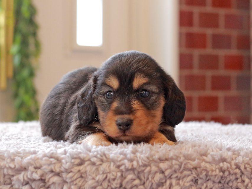 カニンヘン ダックスフンド ジル & ナイトの子犬 ブラックイエロー(ブラッククリーム) 女の子
